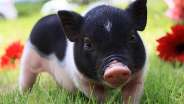 Sắp có thương hiệu lợn Móng Cái- Monca'spig