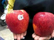"""Dân Hà thành phát """"sốt"""" với trái táo to như quả bưởi"""