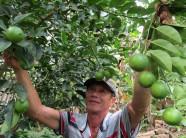 Làm giàu ở nông thôn: Trồng chanh trứng ngỗng, thu tiền tỷ
