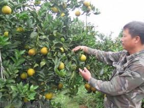 Tin vui: Cam Cao Phong lên máy bay VNA phục vụ khách thương gia