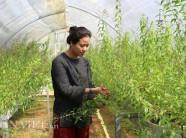Hot girl Đà Lạt trồng cây lạ có bao nhiêu lái