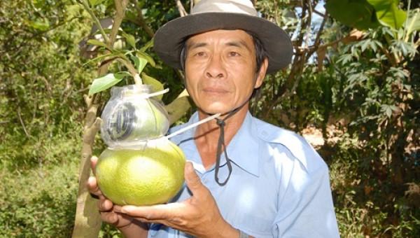 8.000 bưởi hồ lô, đào tiên sẽ ra chợ tết, giá hơn nửa triệu/quả