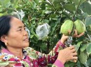 """""""Đút túi"""" 300 triệu đồng mỗi năm nhờ chặt cam, trồng ổi trái vụ"""