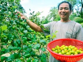Độc đáo mô hình trồng táo + nuôi dê, táo ngọt mát nhờ