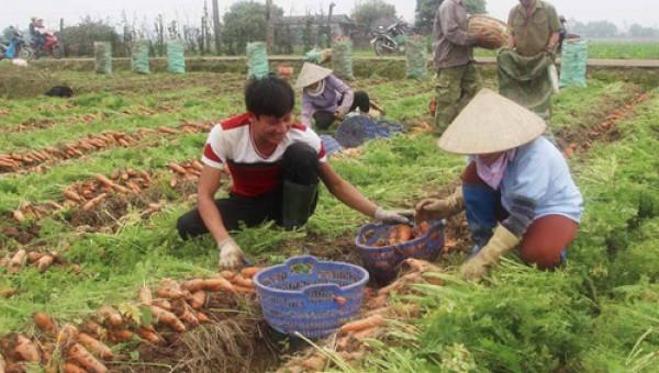 Trồng cà rốt củ to đều tăm tắp, nhà nông Cẩm Giàng thu tiền tỷ
