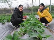 Xôn xao: Đưa vườn dâu tây 3000m², chín đỏ mọng về ngay giữa Thủ đô