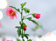 Hoa lạ chưng Tết Kỷ Hợi lần đầu xuất hiện ở Thủ đô: Cẩm quỳ thân gỗ