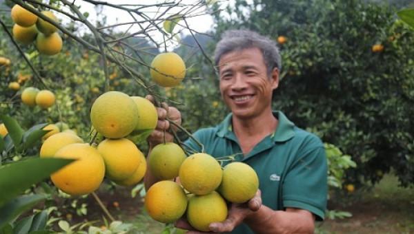 Trồng cam Vinh bán Tết, trái to như trứng ngỗng, kiếm bộn tiền