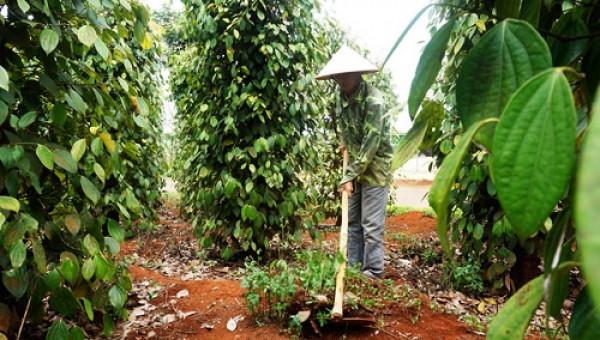 Bí quyết trồng tiêu có lời trong cơn bão giá của nông dân Thuận Hà