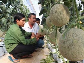 Đắk Lắk: Trai trẻ trồng dưa lưới, trái bự quá trời, cứ 80 ngày lời 45 triệu