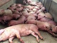 Chống dịch tả lợn châu Phi: Thanh Hóa thiết lập đường dây nóng