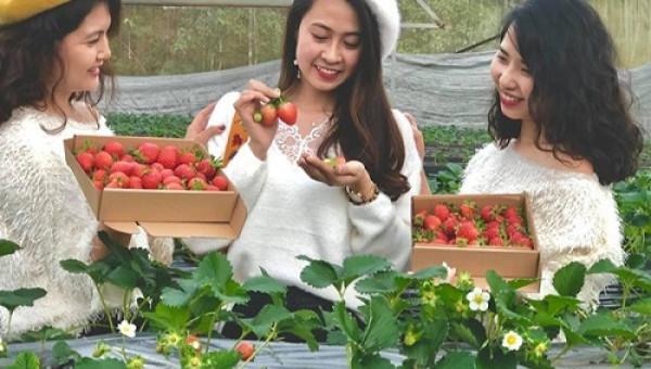 Bỏ việc nhà nước, cắm sổ đỏ trồng dâu tây, khách nườm nượp