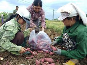 Đau xót: Nguy cơ bỏ thối, làm phân xanh hơn 600ha khoai lang Nhật