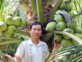 Trồng lúa thu bèo bọt, chuyển trồng dừa xiêm xanh, bán cháy hàng