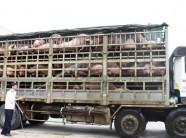 NÓNG: Dịch tả lợn châu Phi lan đến Nghệ An