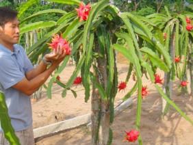 Bộ Nông nghiệp Mỹ khen quả thanh long, cơ hội cho trái rồng xanh