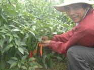 Chung thủy với cây ớt bất kể bão giá, nay vui sướng vì giá nhảy vọt