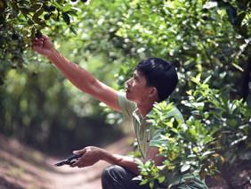 Tỷ phú trồng nhiều chanh tứ quý nhất trên đất nhãn Hưng Yên
