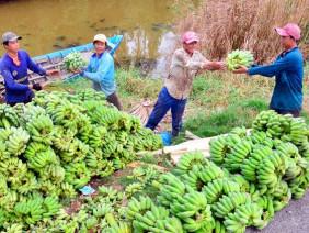 Kiên Giang: Choáng-lão nông chi tiền tỷ sắm xe tải chở chuối đi bán