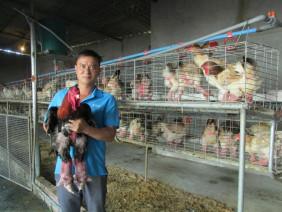 HHưng Yên: Một chủ trang trại bán được 10.000 giống gà lai Đông Tảo ông, bà
