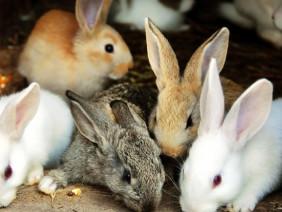 Làm giàu từ nuôi thỏ New Zealand