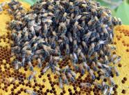Mật ong rú giá trên trời: Có vàng 9999 chưa chắc mua được giọt vàng
