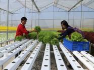 Lâm Đồng: Nhiều nông dân làm giàu nhờ áp dụng công nghệ cao