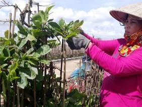 'Mách nước' trồng mai bonsai, thu nhập vài trăm triệu đồng mỗi năm