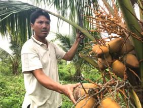Dừa xiêm Nam bộ 'bén duyên' trên đất xứ Thanh