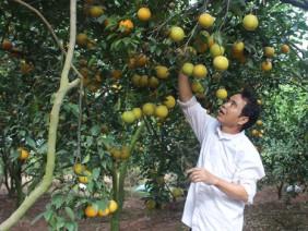 Những nông dân trồng cam khiến dân thủ đô