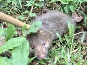 Quảng Ngãi: Nuôi chuột lách đặc sản ăn gốc tre lách đủng đỉnh thu tiền bộn