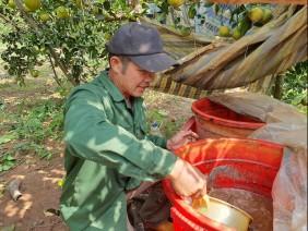 Nghệ An: Cho cam 'ăn' cá, 10 cây trĩu quả cả 10, đã thế ăn lại ngọt