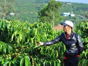 Lâm Đồng: Đau xót, người thân vừa mất thì vườn cà phê bị hại chết