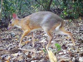 Sau 30 năm nghi bị tuyệt chủng, hươu chuột xuất hiện tại Việt Nam