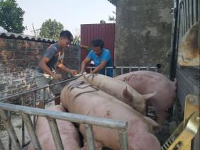 Nguồn cung không thiếu, sao giá lợn hơi tăng kỷ lục?