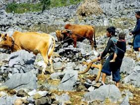 Vùng đất khô cằn, dắt bò 'leo' núi đá mà cày ra...'hoa'