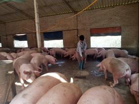 Tái đàn lợn: Không nuôi ồ ạt, ưu tiên đảm bảo an toàn sinh học