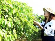 Hòa Bình: Trồng thứ cây 'bán tất' từ lá, hạt, cành đến rễ