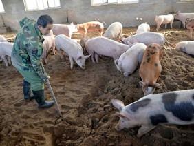 Chăn nuôi bài bản giúp bảo vệ đàn lợn trước dịch tả châu Phi
