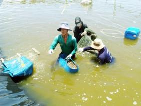 Kiên Giang: Nuôi tôm công nghệ cao, nông dân 'hốt bạc'