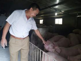 Áp dụng an toàn sinh học, đàn lợn nghìn con béo khoẻ cạnh ổ dịch