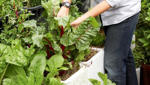 Cách trồng rau sạch trong thùng xốp cực tiện dụng