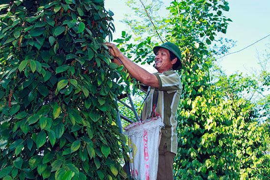Vườn tiêu hữu cơ của gia đình ông Đặng Huy Long cho thu nhập kinh tế khá cao