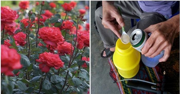Dùng bia tưới cây: Cả vườn hoa bất chấp thời tiết nở rực rỡ, không lo sâu bệnh quấy phá
