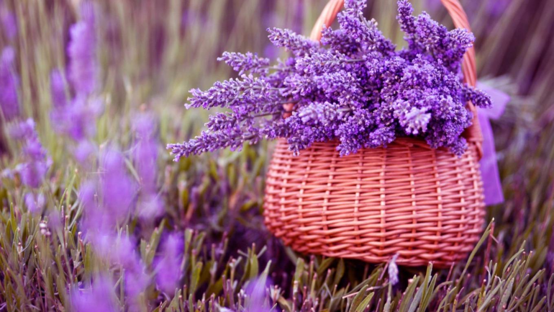 Kết quả hình ảnh cho Hoa Hoa oải hương