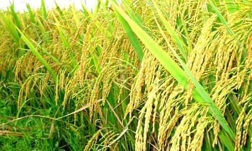 Sản suất khoa học - nông dân thu lợi nhuận với vụ mùa bội thu1
