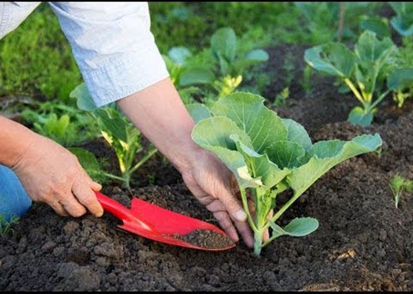 Sử dụng phân bón an toàn khi trồng rau sạch tại nhà5