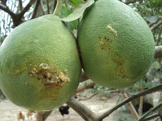 Bí quyết bón phân cho cây ăn quả hạn chế sâu bệnh hại 2