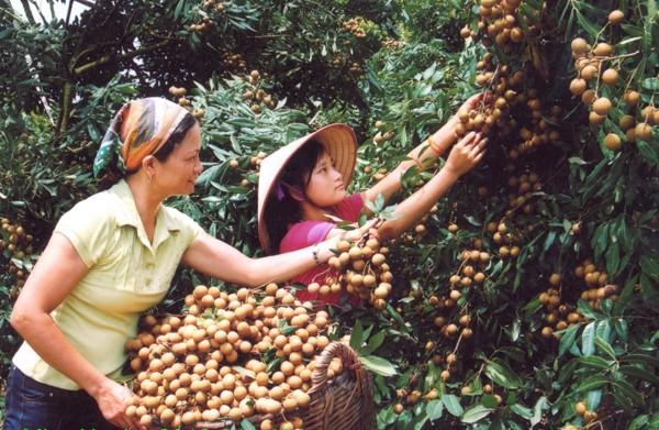 Kỹ thuật trồng cây nhãn lồng cho quả sai trĩu cành5
