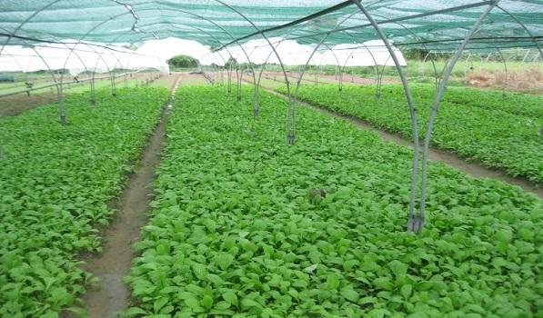 Bí quyết trồng rau mùa lạnh cho năng suất cao3